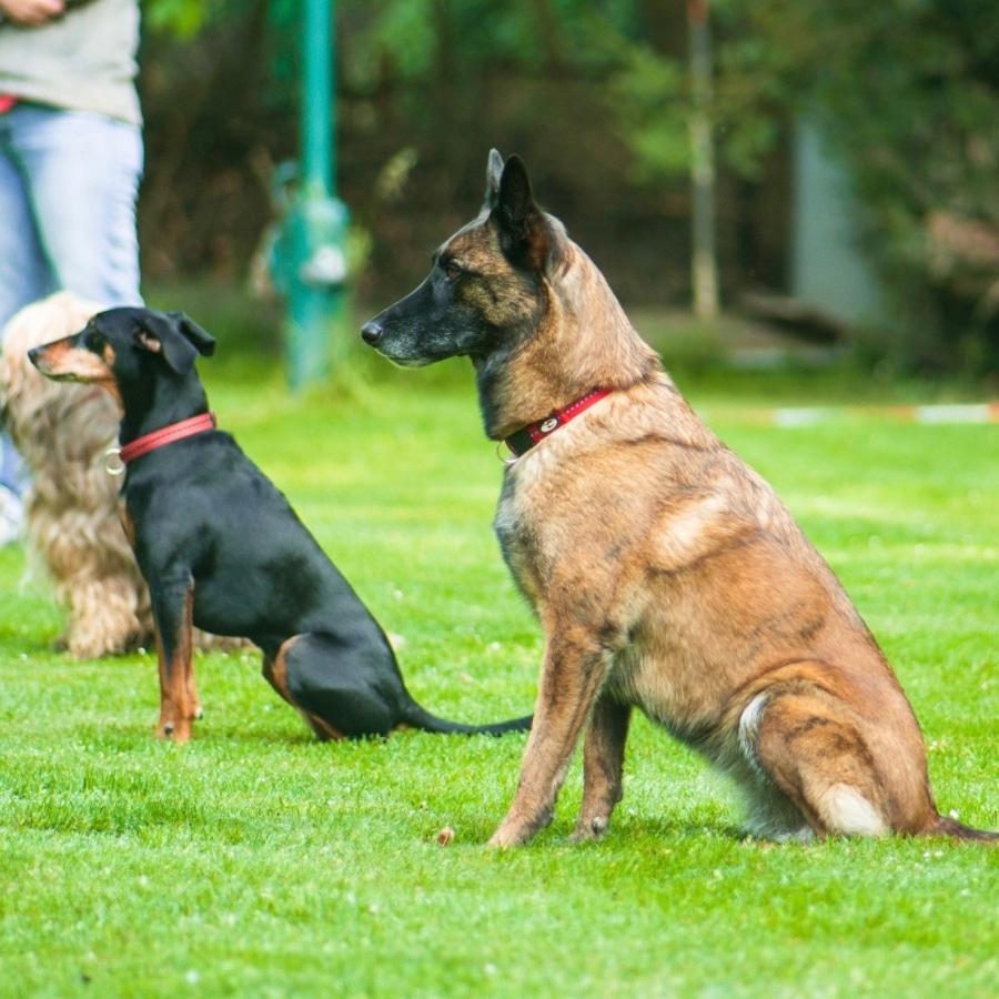 corso Obedience disciplina per stabilire le capacità nell'esecuzione di determinati esercizi.